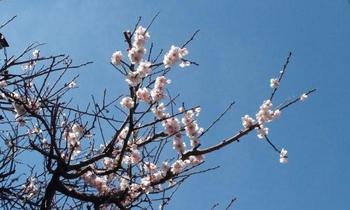 梅の花11.jpg